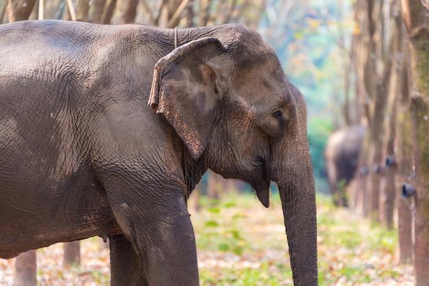 Thai elephant in a forest at kanchanaburi province, thailand Premium Photo