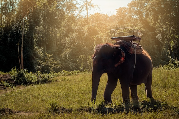 Thai elephant lifestyle in the morning Premium Photo