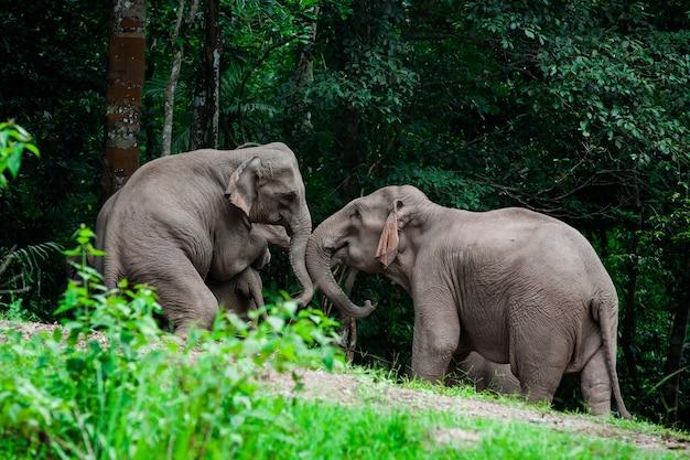 Thai elephants animals  in forest nature at khao yai Premium Photo