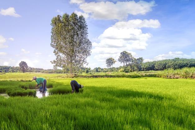 水田での収穫時期のタイの農家 Premium写真