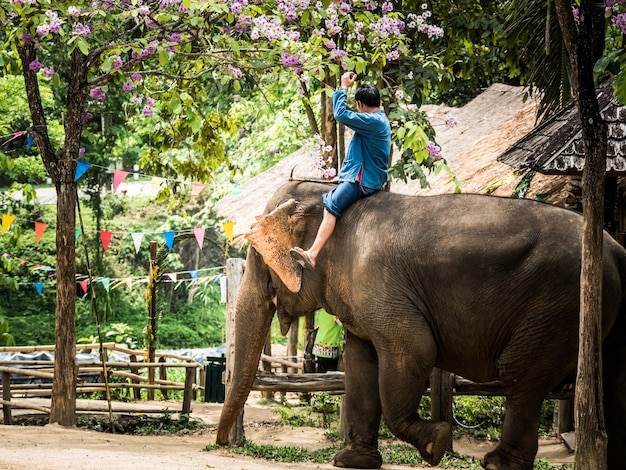 Thai mahout riding elephant to service traveler at thai elephant conservation center . Premium Photo