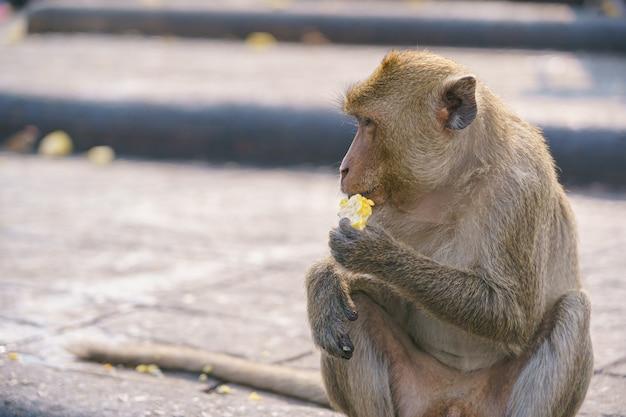 A thai monkey or crab-eating macaque, macaca fascicularis raffle Premium Photo