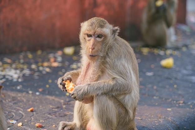 A thai monkey or crab-eating macaque, macaca fascicularis raffles eating bananas Premium Photo