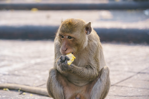 A thai monkey or crab-eating macaque, macaca fascicularis raffles Premium Photo