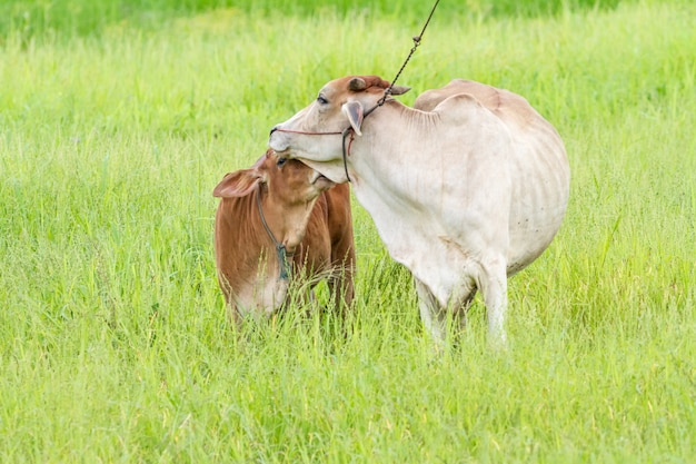 Thai mother cow and calf stay on the field Premium Photo
