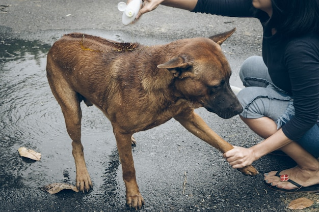 Thai ridgeback dog taking a shower with soap and water Premium Photo