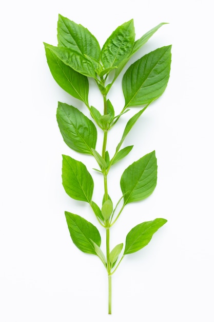 Thai sweet basil leaves Premium Photo