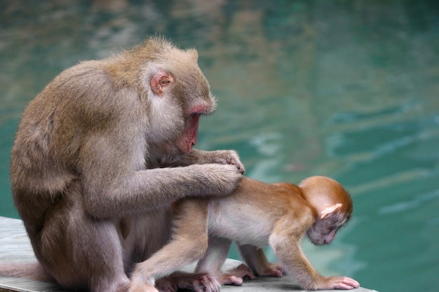 Thai wild red face mommy and baby monkey sitting near the river. Premium Photo