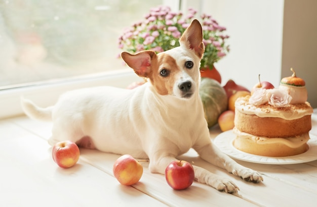 Thanksgiving, dog jack russell terrier with a naked cake with pumpkins and flowers for halloween Premium Photo