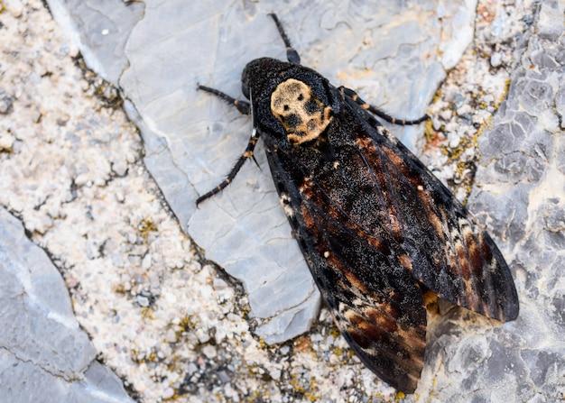 アフリカの死頭のスズメガ Premium写真