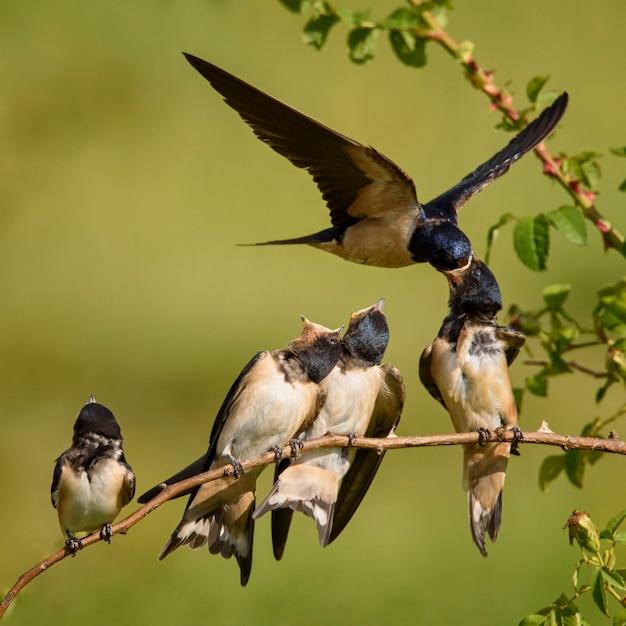 Ласточка сарая кормит одного из четырех своих птенцов в полете Premium Фотографии