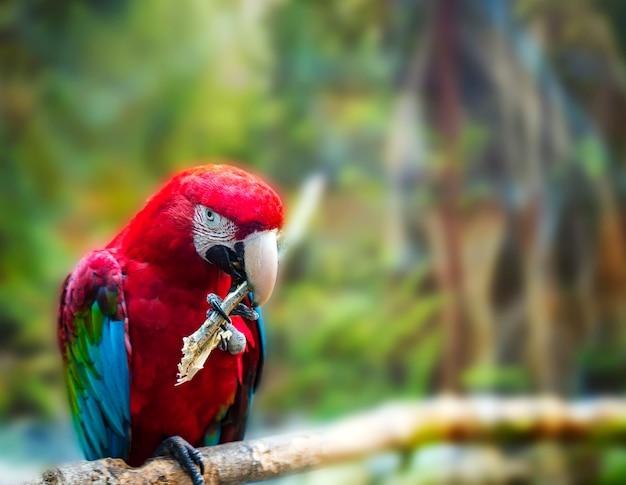 枝に座っている大きな赤いオウム赤と緑のコンゴウインコ、ara chloroptera Premium写真