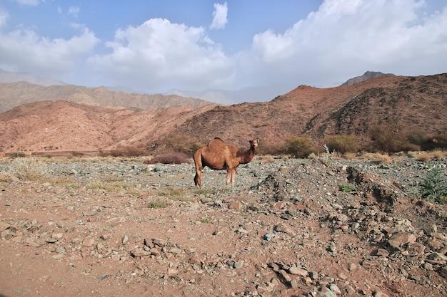 サウジアラビア、マッカ州、ヒジャーズ山脈のラクダ Premium写真