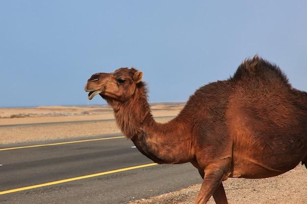サウジアラビアの砂漠のラクダ Premium写真