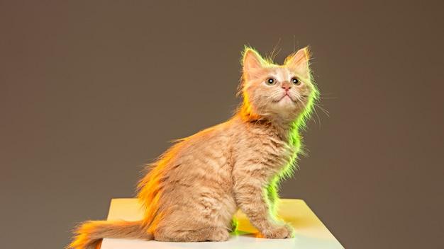 ネオンの明かりで灰色の壁に猫 無料写真