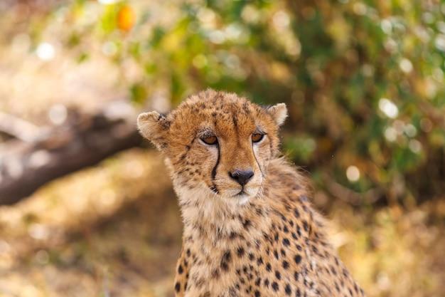 チーターはサバンナのマサイマラケニアを覗き込みます Premium写真