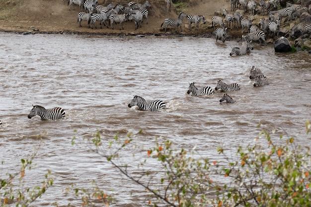 Переправа зебр на противоположном берегу реки мара кения африка Premium Фотографии