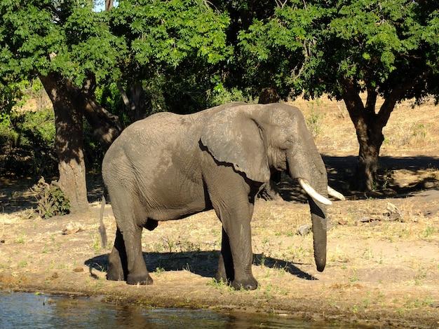 アフリカ、ボツワナのザンベジ川の海岸の象 Premium写真