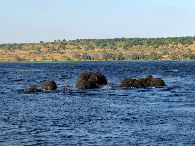 象はアフリカのボツワナ、ザンベジ川で泳ぐアフリカのボツワナ、ザンベジ川 Premium写真