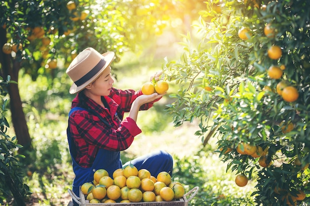 The gardeners are collecting oranges, Orange Garden. Photo | Premium ...