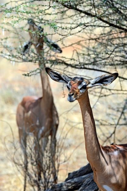 Геренук (litocranius walleri); также известный как уоллер Premium Фотографии