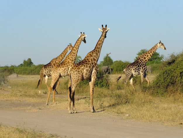 アフリカ、ボツワナのチョベ国立公園のサファリのキリン Premium写真