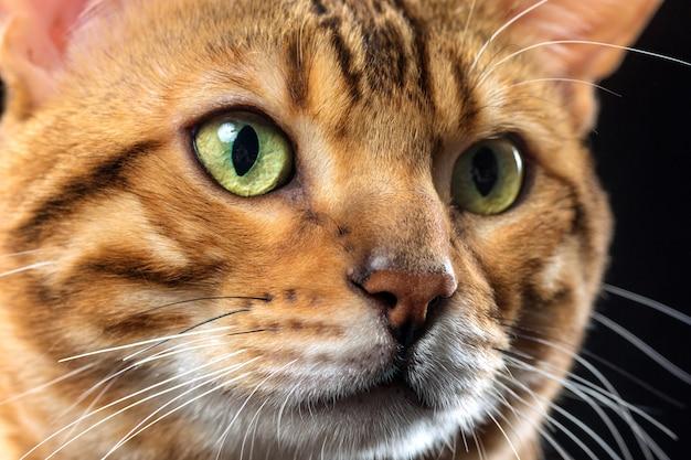 黒地に金のベンガル猫 無料写真