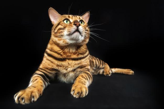 黒いスペースに金のベンガル猫 無料写真