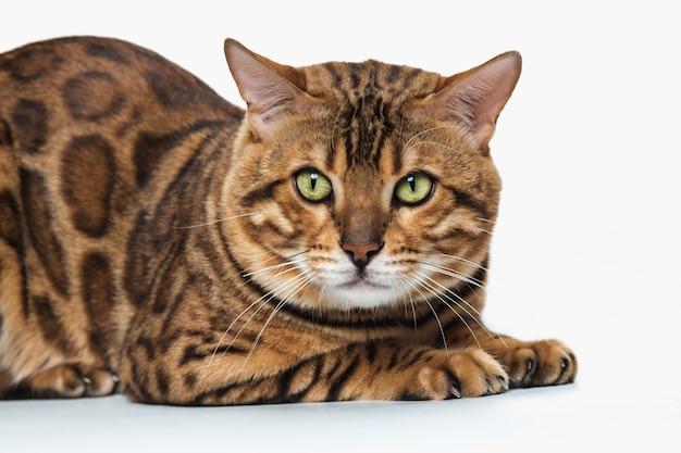 Золотой бенгальский кот на белом фоне Бесплатные Фотографии