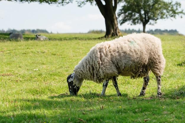 牧草地に放牧の大きな白い羊 Premium写真