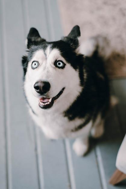 허스키 개가 보인다. 개의 불쌍한 표정. 아름다운 허스키 개. 개가 집에 있어요. 프리미엄 사진