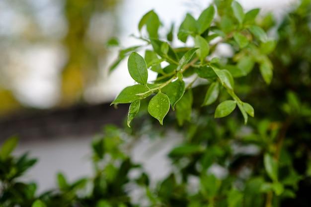 葉は雨の中で葉ではありません。葉、芽、葉、柔らかい葉には滴があります Premium写真