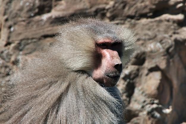 サウジアラビアの山の猿 Premium写真