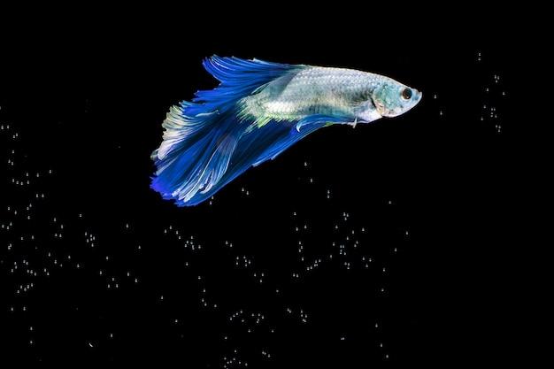 ブルーハーフムーンシャムベタ魚の感動的な瞬間 Premium写真