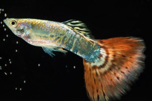 茶色と灰色の半月シャムベタ魚の感動的な瞬間 無料写真