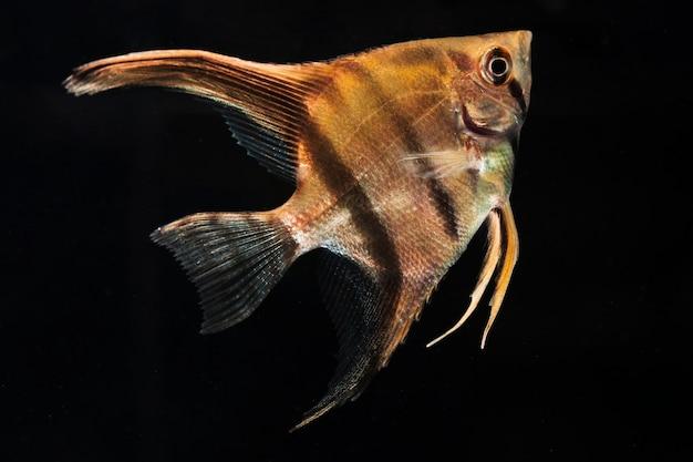 ハーフムーンシャムベタ魚のクローズアップの感動的な瞬間 無料写真