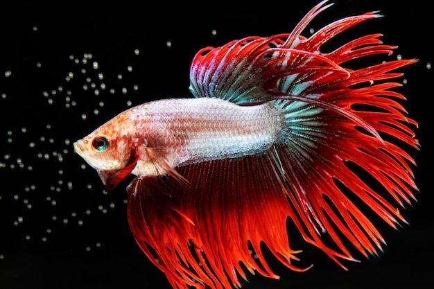 赤尾半月シャムベタ魚の感動的な瞬間 無料写真