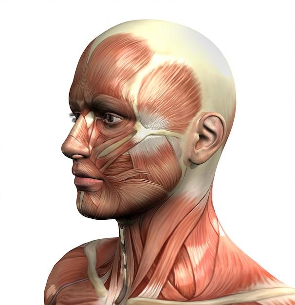 3d фигура с крупным планом лица с мышечной карты Бесплатные Фотографии