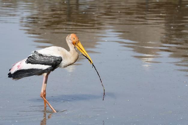 Painted Stork 새 (mycteria Leucocephala)는 물속에서 막대기 나무를 물고 있습니다. 프리미엄 사진