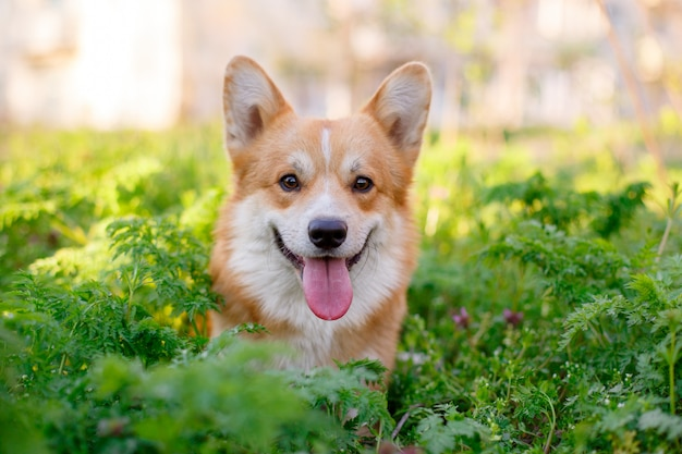 ペンブロークウェルシュコーギー犬が公園の散歩で芝生に座っています。 Premium写真