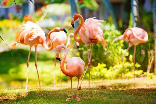 ピンクのカリブ海フラミンゴが水に行く Premium写真
