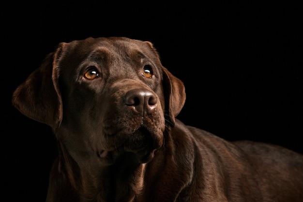 撮影した黒いラブラドール犬の肖像画 無料写真