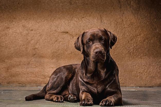 茶色のラブラドル・レトリーバー犬の犬の肖像画 無料写真