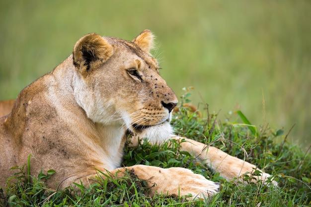 Портрет львицы, она лежит в траве в саванне Premium Фотографии