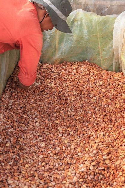 タンク内で新鮮なカカオ豆を発酵させるプロセス Premium写真