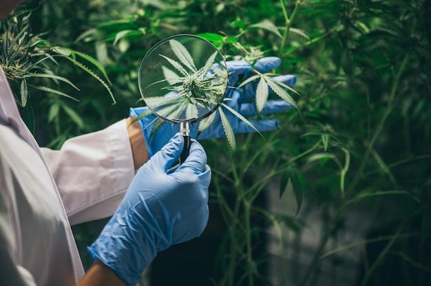 医療実験におけるマリファナからの漢方薬の生産 Premium写真