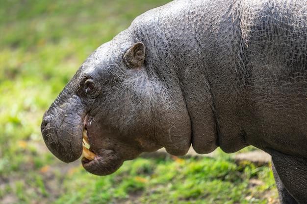 Карликовый бегемот, choeropsis liberiensis или hexaprotodon liberiensis - это небольшой бегемот, обитающий в лесах и болотах западной африки, либерии, сьерра-леоне, гвинеи, кот-д'ивуара Premium Фотографии