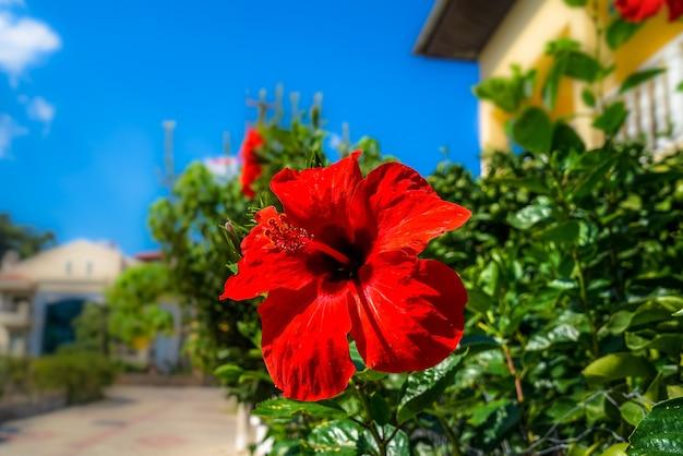 赤いハイビスカス。開花植物、太陽、ホテルの観光リビエラ Premium写真