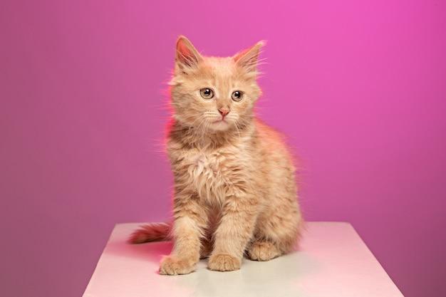 ピンクのスタジオの赤または白の猫 無料写真
