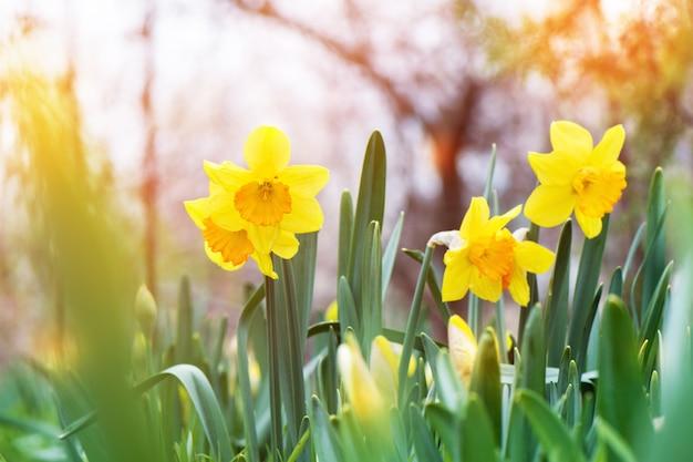 庭に咲く黄色い水仙(narcissus)。 無料写真